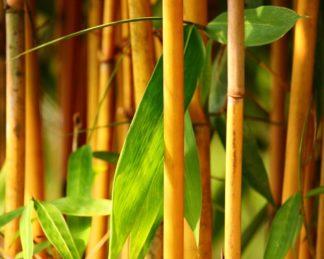 Phyllostachys-Aurea_aranysárga szára