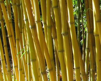 Phyllostachys aureosulcata 'Aureocaulis'_sárga szára