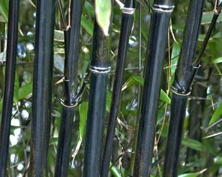 Phyllostachys nigra fekete szára