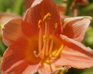 Viktória Szalóczi - Hemerocallis Crestwood Lucy_florapont