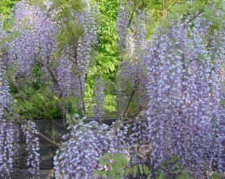 Wisteria-floribunda-Macrobotrys lilaakác kerítésen