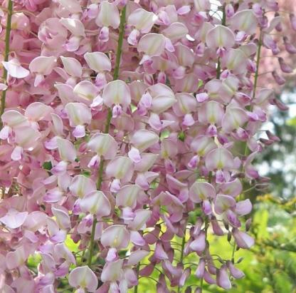 lilaakác Wisteria-floribunda-rosea
