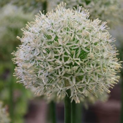 Az Allium 'Mount Everest' fehér színű, nagyvirágú díszhagyma