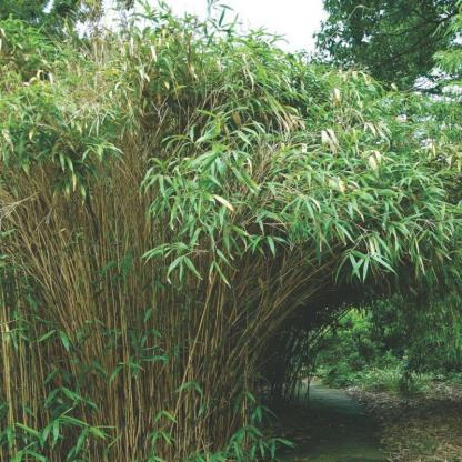bambusa-metake_florapont