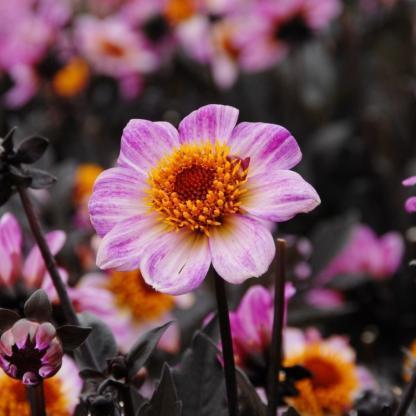 Dahlia 'Dark Angel American Pie' 1 A <strong>Dark Angel American Pie </strong>kimondottan alacsony, kb. 25 cm-es. Virágja is kicsi, kb. 4,5 cm-es, gyönyörű rózsaszín bordó csíkokkal, óriási narancssárga bibével. Balkonládába is kiváló.