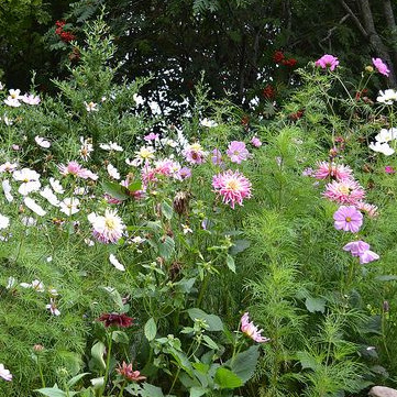 Dália és pillangóvirág párosítás