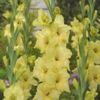 Bananarama Kardvirág gladiolus