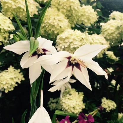 gladiolus-callianthus-murielae kardvirág