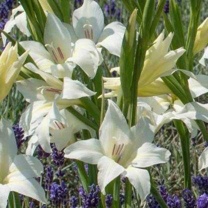 gladiolus-colvillei-albus kardvirág fehér
