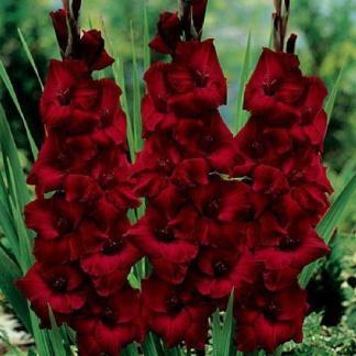 gladiolus espresso_florapont kardvirág