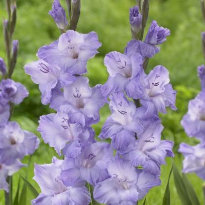 gladiolus milka kardvirág lila florapont