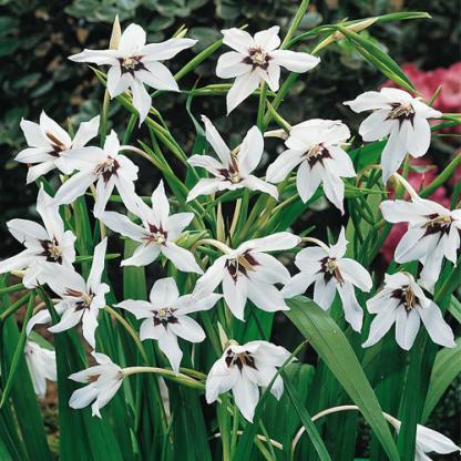 Gladiolus callianthus 'Murielae' - kardvirág 1 A <strong>Murielae </strong>alacsonyabb fajtájú kardvirág, magassága kb. 90 cm. Virágjai kb. 10 cm-esek, csodálatos fehérek, a közepe felé lilás árnyalattal, formája a csillagra hasonlít. <ul> <li><em>Kiszerelés: hagymagumó, kerület: 10 cm </em></li> <li><em>Rendelhető mennyiség: minimum 5 db</em></li> </ul> <em></em>