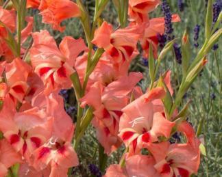 gladiolus-nanus-nathalie kardvirág
