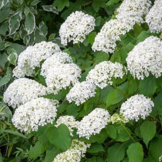 cserjés hortenzia annabelle virága