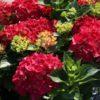 Hydrangea macrophylla 'Hot Red' - hortenzia