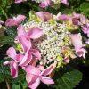 hydrangea-macrophylla-nizza-rose kerti hortenzia rózsaszín virága