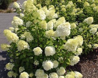 hydrangea-paniculata-bugas-bobo hortenzia fehér virága