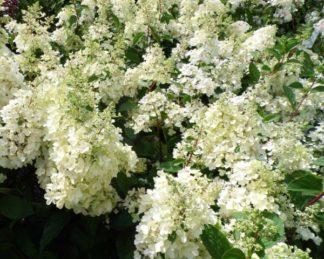 hydrangea-paniculata-bugas-candlelight bugás hortenzia virága