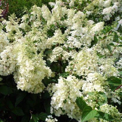 hydrangea-paniculata bugás hortenzia candlelight bugás hortenzia virága