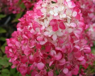 hydrangea-paniculata-bugas-diamant-rouge bugás hortenzia