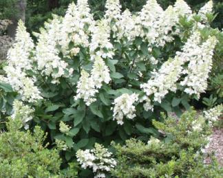 hydrangea-paniculata-bugas-grandiflora bugás hortenzia