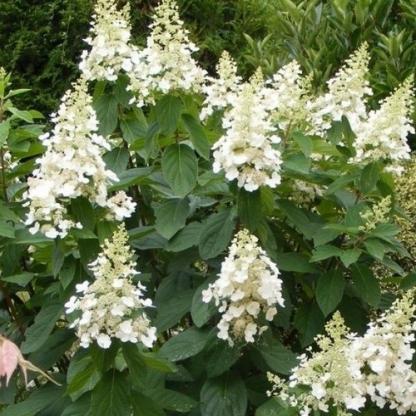 hydrangea-paniculata-bugás hortenzia -kyushu