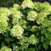 hydrangea-paniculata-little-lime-jane bugás hortenzia virágai