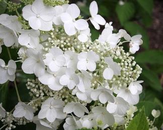 bugás hortenzia hydrangea-paniculata-prime-white