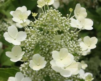 hydrangea-paniculata-tardiva bugás hortenzia