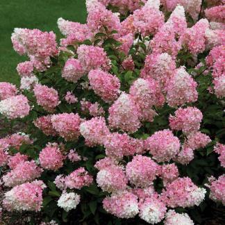 hydrangea-paniculata-vanille-fraise bugás hortenzia