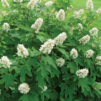 hydrangea-quercifolia-alice levél