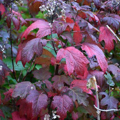 hydrangea-quercifolia-alice-őszi levélszíne