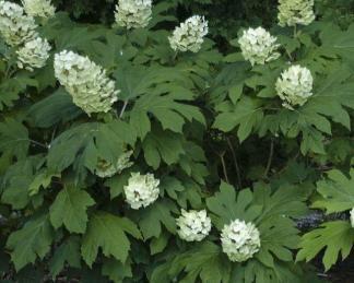 hydrangea-quercifolia-snowqueen cserje és virágja