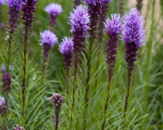 liatris-spicata-díszcsorba florapont