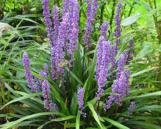 liriope-muscari-big-blue-florapont gyöngyikés gyepliliom