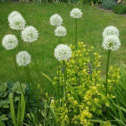 Az Allium 'Mount Everest' - díszhagyma rendkívül különleges, magas növekedésű, hosszú virágzású, fehér színű hatalmas fejű díszhagyma