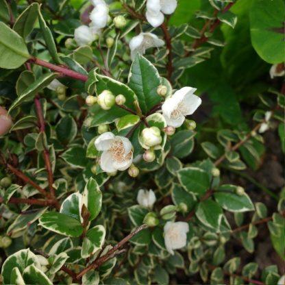 myrtus-communis-variegatus