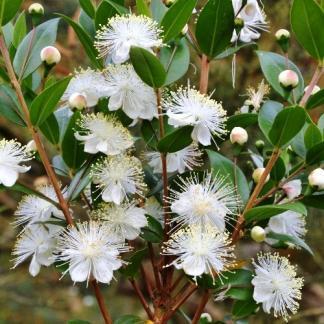 myrtus-communis- Közönséges mirtusz fehér virága