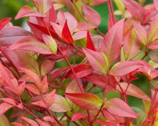 nandina-domestica-gulf-stream_level