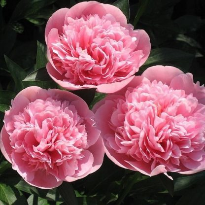 paeonia Etched-Salmon