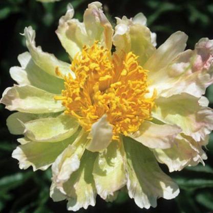 paeonia Green Lotus bazsarózsa