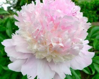 paeonia Petticoat Flounce bazsarózsa
