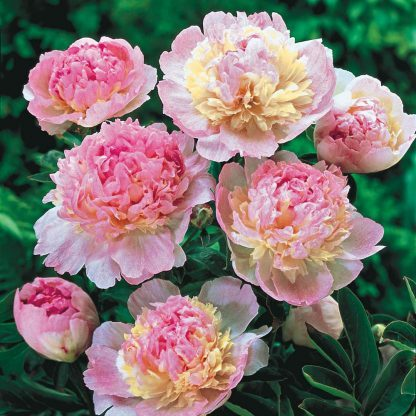 paeonia Rasberry Sunday bazsarózsa