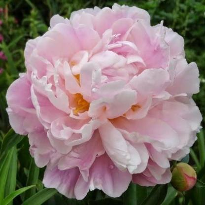 A Paeonia lactiflora 'Catharina Fontijn' dupla virágú, rendkívül illatos, eleinte rózsaszínű lágyszárú bazsarózsa.