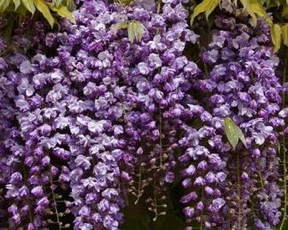 wisteria-floribunda-black-dragon
