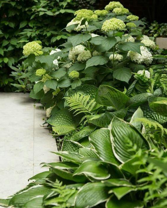 hortenzia társítása áenyékliliommal: Hydrangea arborescens 'Annabelle' és Hosta 'Diana Remembered'