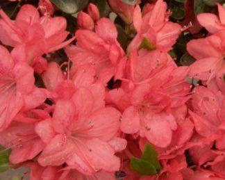 Azalea-japonica-Blaauws-Pink