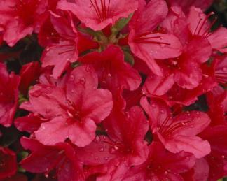 Azalea-japonica-hino-crimson
