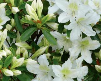 Azalea-japonica-palestrina