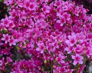 Azalea-japonica-silvester